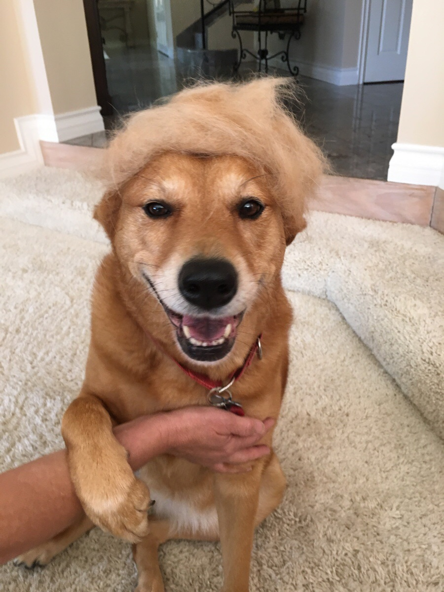 My dog sheds a lot, so we made a wig for her. We think she should run for president.