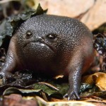 Who can't love the unconventional-looking Black Rain Toad?