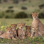 A cheetah family pose for the camera at Mashatu Game Reserve by Trevor Kleyn Photography and Guiding