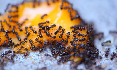 how-to-eliminate-ants-from-your-home-cheaply-and-naturally.jpg