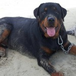 My 9 mo. old Rottie Kal'el and his first day at the beach.