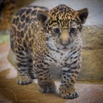 San Diego Zoo has a new kitten now