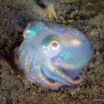 "This shiny, holographic little guy is called a ""stubby squid"" (Rossia pacifica)"
