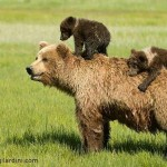 Grizzly bear cubs hitch a ride on mom