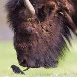 The Bison and the Bird.