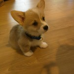 My friend got a corgi. Meet Bento.